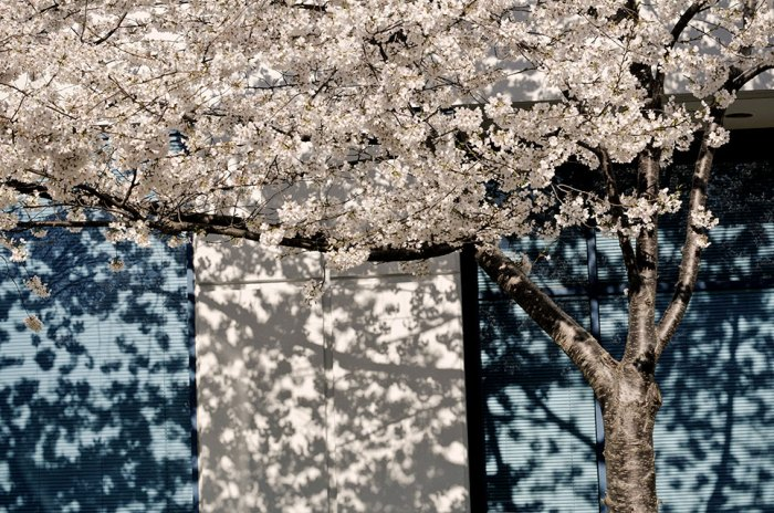 Cherry Blossoms bring Life-Even to an Office Park