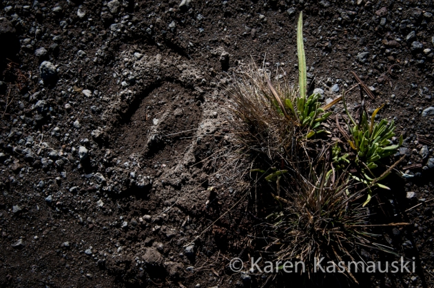 Hoof print of a water buffalo that wandered up to 13,000 feet on the mountain looking for salt.