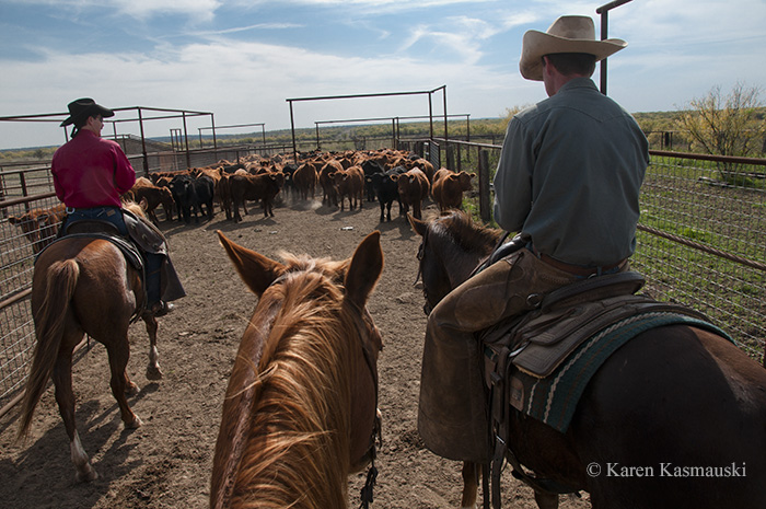 Of course, not every photo required an improvised lighting setup.  Here cowboys round up the cattle on the breeding stock ranch.