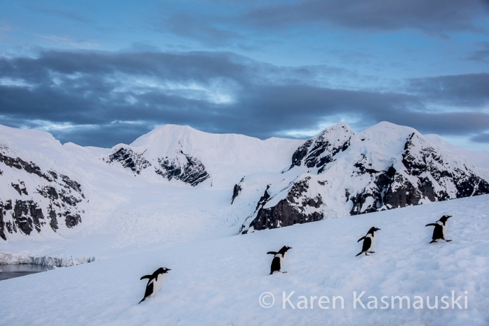 Gentoo Penguins hike slowly to the top of Ducas Island.