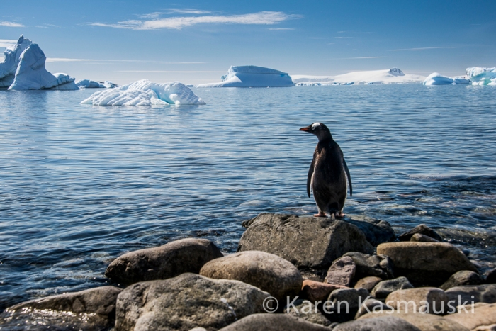 Looking at this lone Gentoo penguin on Cuverville Island, I wonder how long this icy world will endure.
